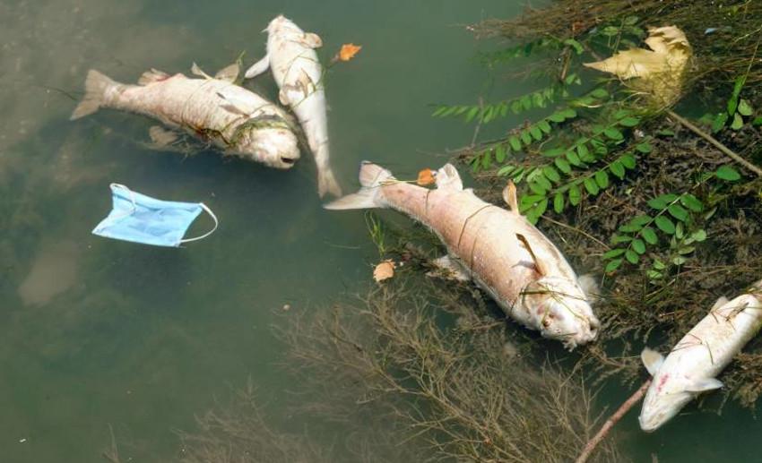 Morìa pesci Tevere