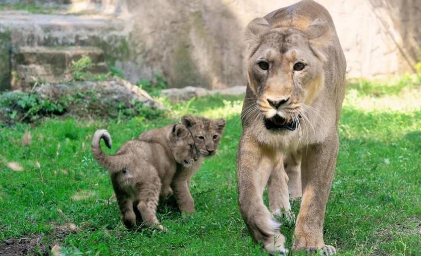 Roma Bioparco, cuccioli leone asiatico