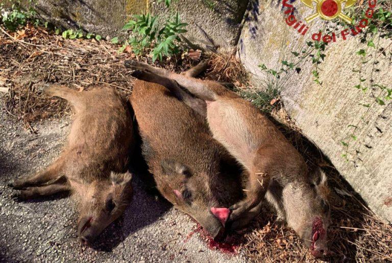 cinghiali uccisi roma