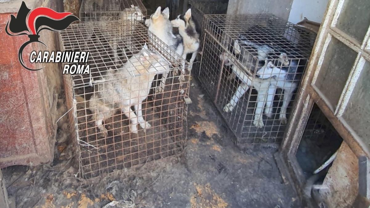 Allevamento abusivo di Husky a Ponzano Romano