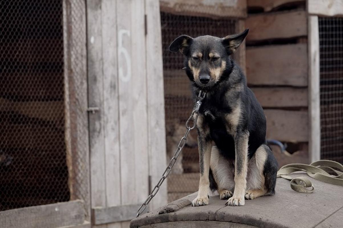 cane legato con la catena